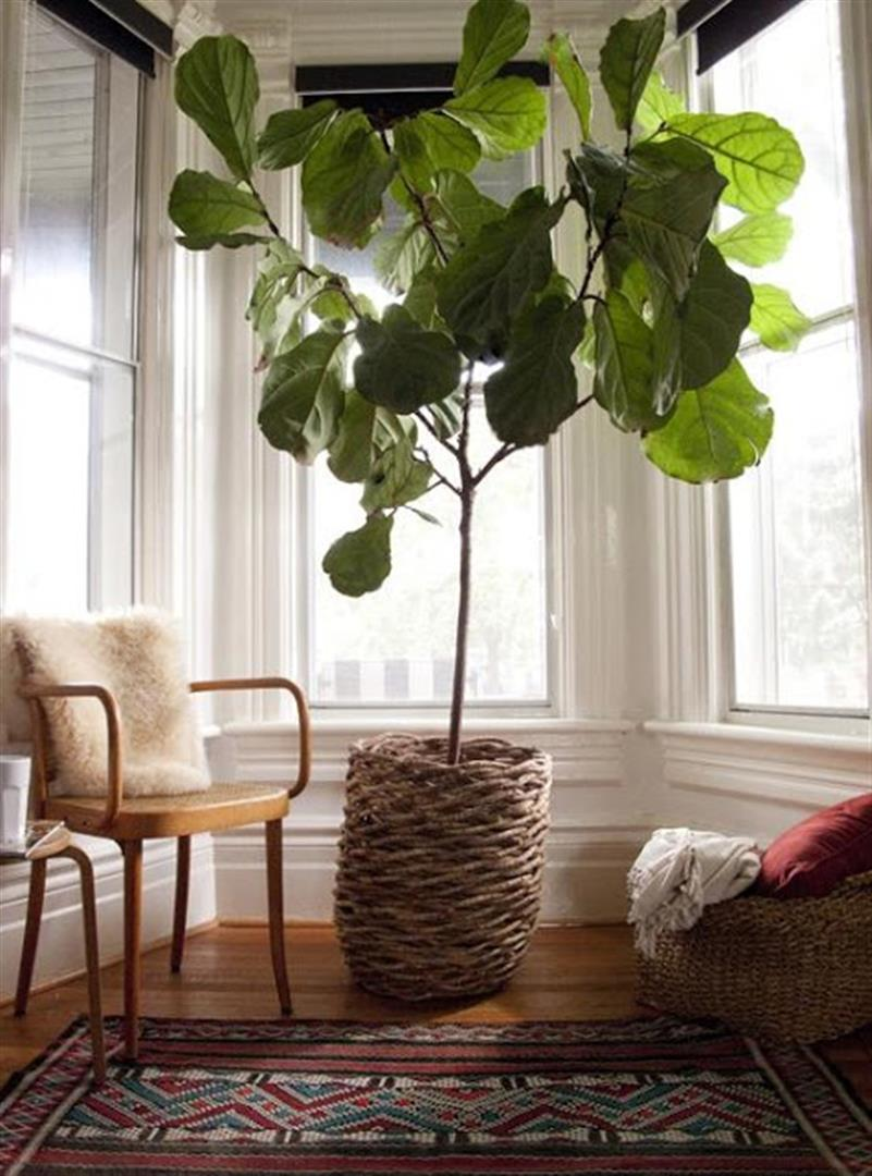 fiddle-leaf-tree-ficus-lira-lyrata (3) (Large)